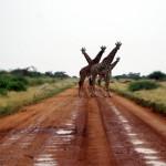 Amboseli-P8715