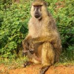 Amboseli-P8891