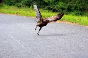 Greifvogel-Malawi-P0774